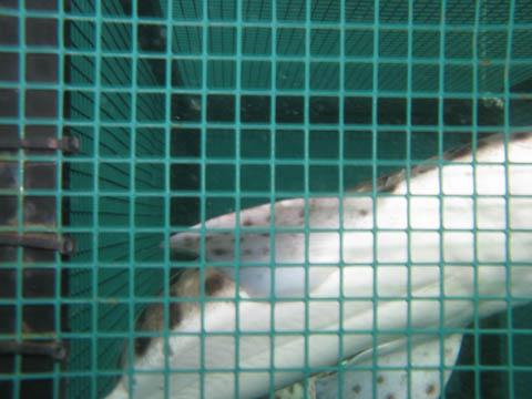 Uno squalo gattopardo in attesa di essere liberato