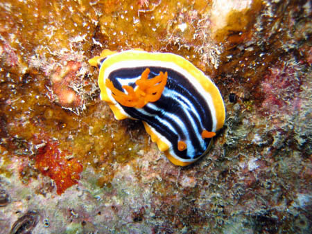Un nudibranco